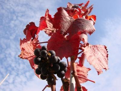 Pinot Noir - barwy jesieni