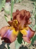 Irys wielkokwiatowy