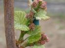 Kwiat winoro�li